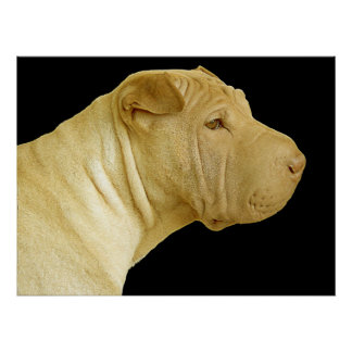 Chinese Shar Pei Posters