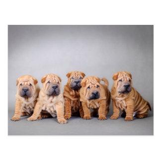 Chinese Shar pei puppies Postcard