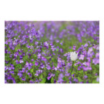 Chinese Violet Cress Posters