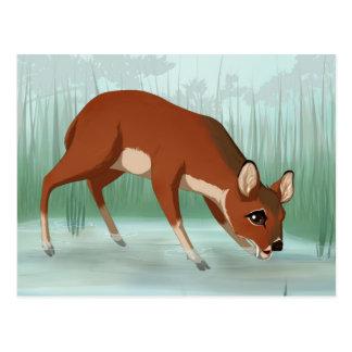 Chinese water deer postcard