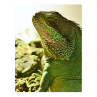 Chinese Water Dragon Postcard
