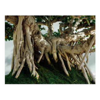 Chinsese Banyan Ficus Bonsai Roots Postcard