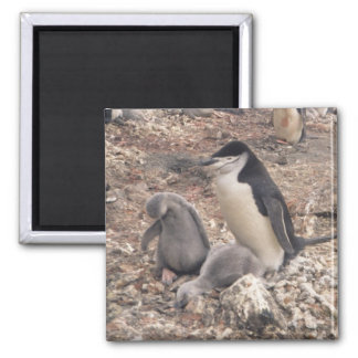Chinstrap Penguin and Chicks Magnets