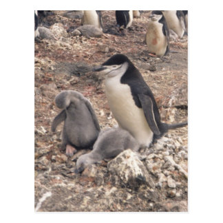 Chinstrap Penguin and Chicks Postcard