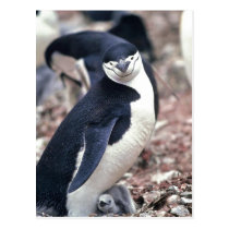 Chinstrap Penguin, Manchot ? jugulaire ( Pygosceli Postcard
