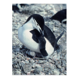 Chinstrap Penguin Postcard