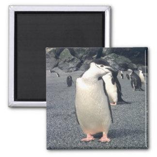 Chinstrap Penguin Waddle Fridge Magnet