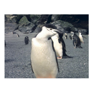 Chinstrap Penguin Waddle Postcard
