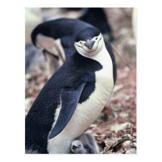 Chinstrap Penguin with Baby Postcard
