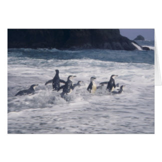 Chinstrap Penguins in the beach surf Greeting Card