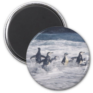 Chinstrap Penguins in the beach surf Magnets