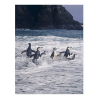 Chinstrap Penguins in the beach surf Postcard