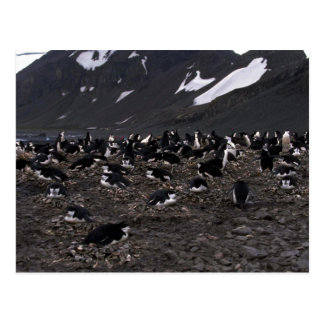 Chinstrap Penguins Nesting Colony Post Card