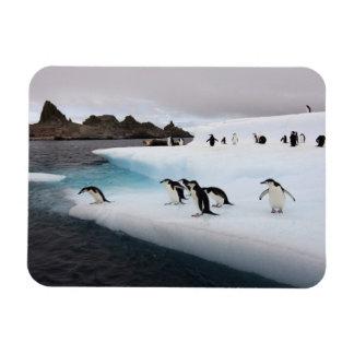 chinstrap penguins, Pygoscelis antarctica, 2 Magnet