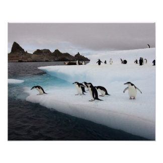 chinstrap penguins, Pygoscelis antarctica, 2 Poster