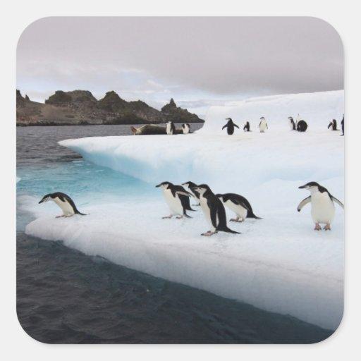 chinstrap penguins, Pygoscelis antarctica, 2 Sticker