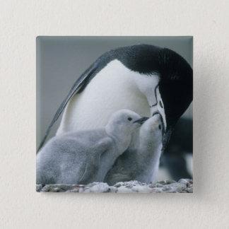 Chinstrap Penguins, Pygoscelis antarctica), Button