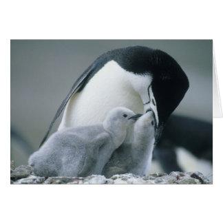 Chinstrap Penguins, Pygoscelis antarctica), Card