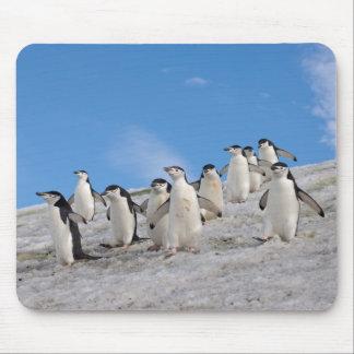 chinstrap penguins, Pygoscelis antarctica, Mouse Pad