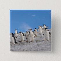 chinstrap penguins, Pygoscelis antarctica, Pinback Button