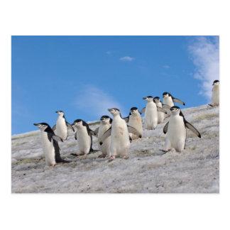 chinstrap penguins, Pygoscelis antarctica, Postcard