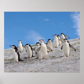 chinstrap penguins, Pygoscelis antarctica, Poster