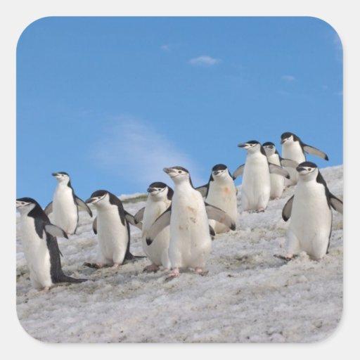 chinstrap penguins, Pygoscelis antarctica, Sticker