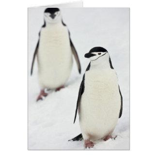 Chinstrap Penguins Pygoscelis antarcticus), Card