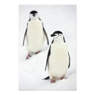 Chinstrap Penguins Pygoscelis antarcticus), Photo Print