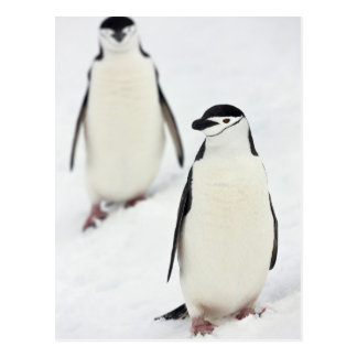 Chinstrap Penguins Pygoscelis antarcticus), Postcard