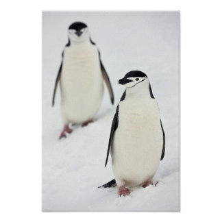 Chinstrap Penguins Pygoscelis antarcticus), Poster