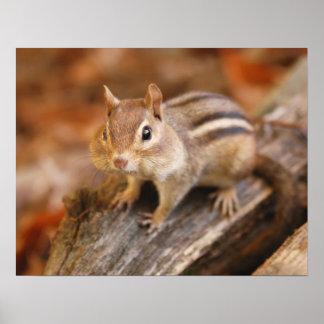 Chipmunk adorable impresiones