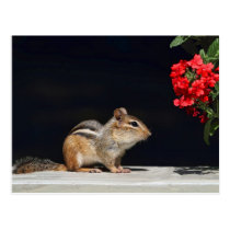 Chipmunk and Red Flowers Photo Postcard