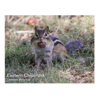 Chipmunk del este postales