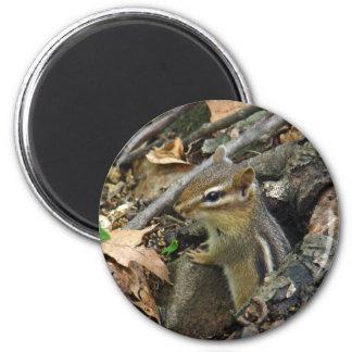Chipmunk del este - striatus del Tamias Imán Redondo 5 Cm