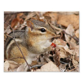 Chipmunk Eating a Cherry Photo Print