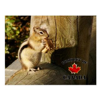 Chipmunk eating Mushrooms Postcards