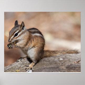 Chipmunk en el parque de Naitonal de la montaña ro Posters