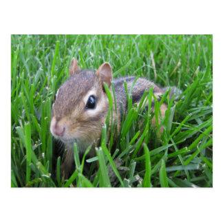 Chipmunk en la hierba tarjetas postales