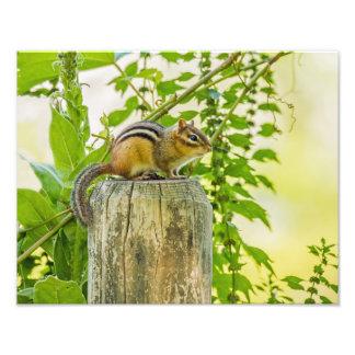 Chipmunk en un poste de la cerca fotografías