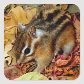 Chipmunk, foto del otoño (12) calcomanía cuadradase