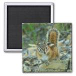 Chipmunk in Glacier National Park I Magnet