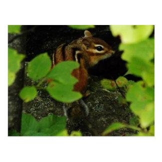 Chipmunk in Warren Vermont Postcard