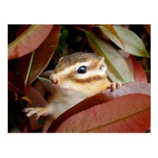 Chipmunk photo (30-4) postcard