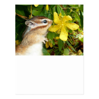 Chipmunk photo (30) postcard