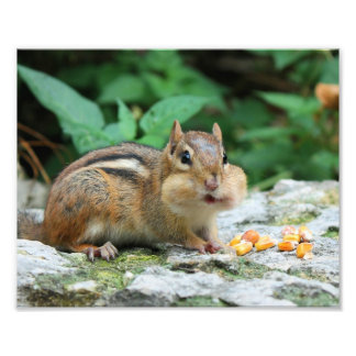 Chipmunk with Stuffed Cheeks Photo Print