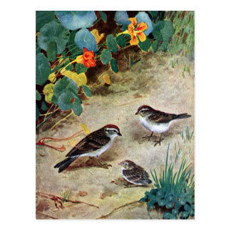 Chipping Sparrow Family and Nasturtiums Postcard