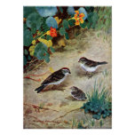 Chipping Sparrow Family and Nasturtiums Poster