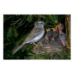 Chipping Sparrow feeding young Print
