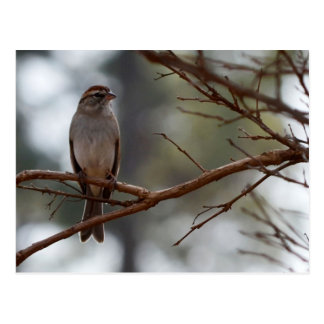 Chipping Sparrow in Crepe Myrtle Tree Postcard